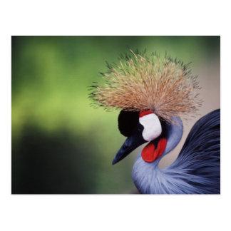 African Crowned Crane (Balearica rugelorum Postcard