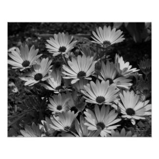 African Daisies Flower Black White Print