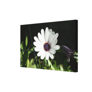 African Daisy Stretched Canvas Prints