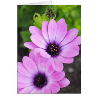 African Daisy Flower Blank Notecard Greeting Card