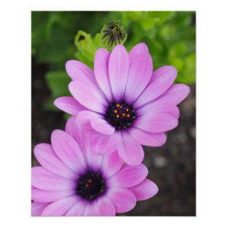 African Daisy Flowers Poster