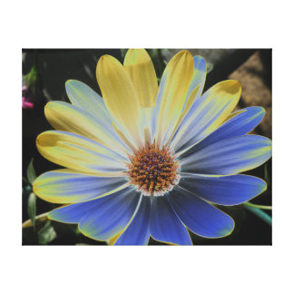 African Daisy Lapis and Gold Canvas Print