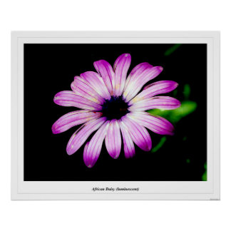 African Daisy luminescent Poster