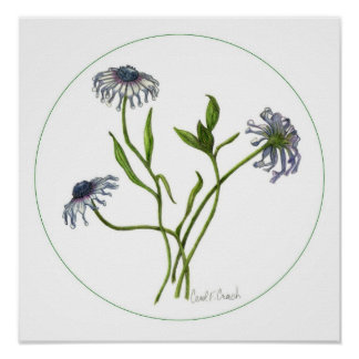 African Daisy Osteospermum Posters