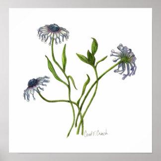 African Daisy Osteospermum Poster