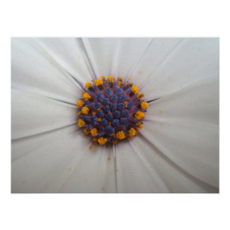 African Daisy Photography Print