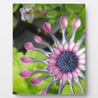 African daisy plaque