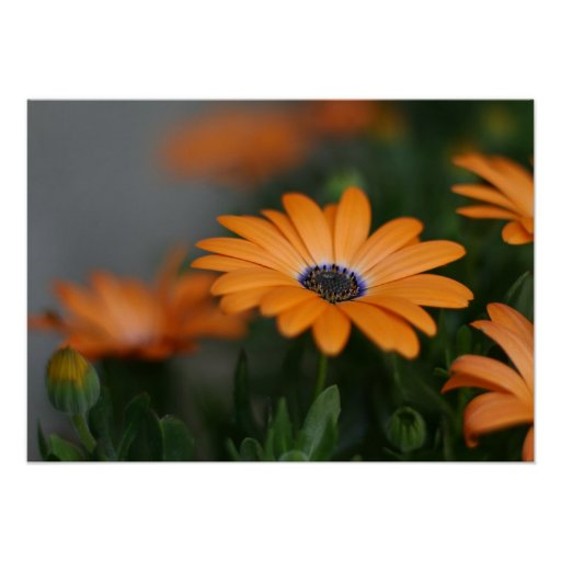 """""""African Daisy"""" Poster"""