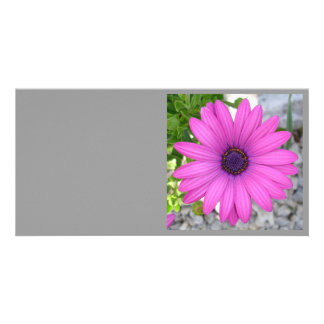 African Daisy Square Photo Cards