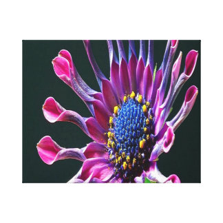 African-Daisy Stretched Canvas Prints