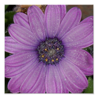 African Daisy Wrapped Poster