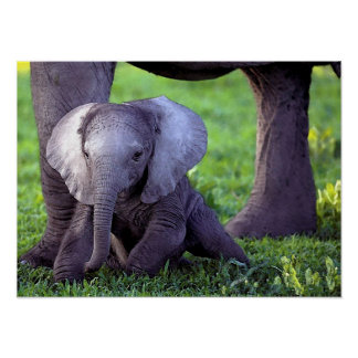 African Elephant Baby Portrait Poster Print