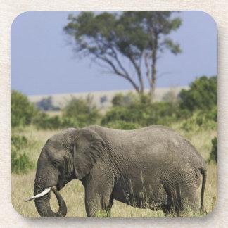 African Elephant grazing, Loxodonta africana, Drink Coaster