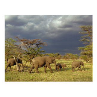 African Elephant herd Loxodonta africana Postcards