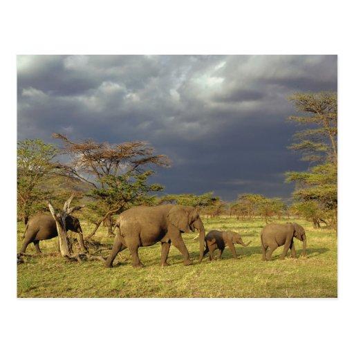 African Elephant herd, Loxodonta africana, Postcards