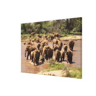 African Elephant, Loxodonta africana, crossing Canvas Prints