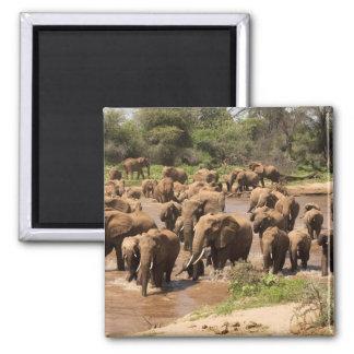 African Elephant, Loxodonta africana, crossing Magnet