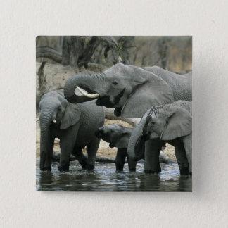 African Elephant, (Loxodonta africana), drinking 15 Cm Square Badge