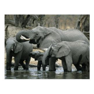 African Elephant, (Loxodonta africana), drinking Postcard