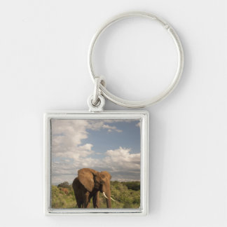 African Elephant, Loxodonta africana, out in a Key Chains