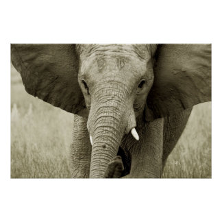African Elephant poster, print, picture Poster