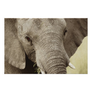 African elephant wildlife posters, images, prints