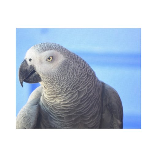 African Grey Parrot Stretched Canvas Prints
