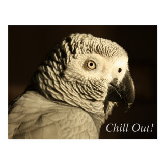 "African Grey Parrot ""Chill Out!"" Postcard"