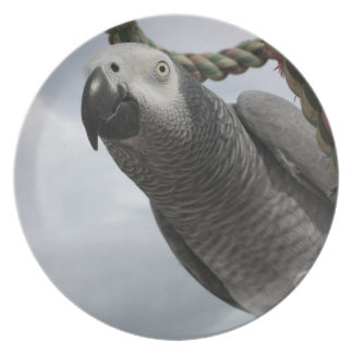 African Grey Parrot Close-up Plate