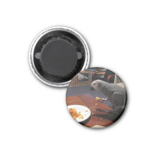 African Grey Parrot eating dinner 3 Cm Round Magnet