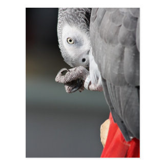 African Grey Parrot Post Card
