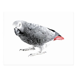"""African Grey"" Parrot Postcard"