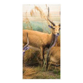 African Impalas Photo Greeting Card