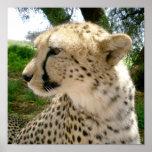 African Jungle Safari  Wild Cats Cheetahs