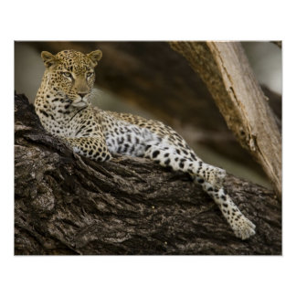 African Leopard, Panthera pardus, in a tree in Poster
