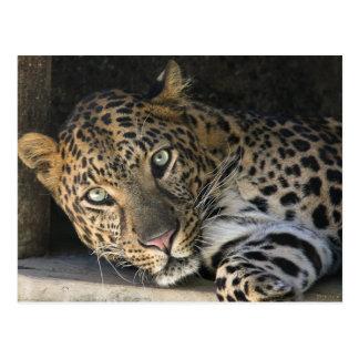 African Leopard Postcard
