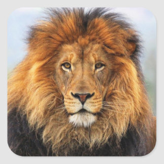 African Lion 1 Square Sticker