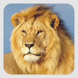 African Lion 2 Square Sticker