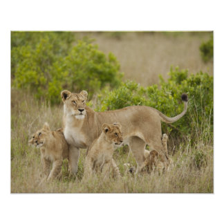 African Lion adult female with cubs, alert Poster
