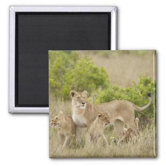 African Lion adult female with cubs, alert Square Magnet