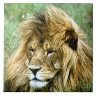 African lion large square tile