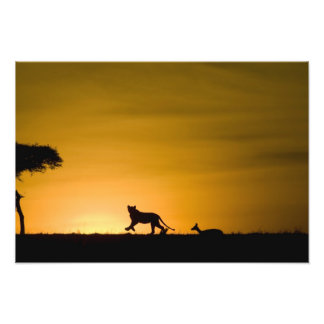 African Lion, Panthera leo, chasing gazelle Photo