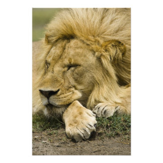 African Lion, Panthera leo, laying down asleep Photo Print
