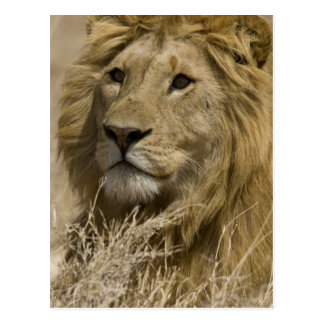 African Lion, Panthera leo, Portrait of a Postcard