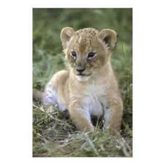 African lion, Panthera leo), Tanzania, Photo Print