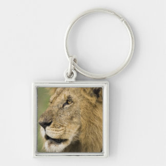 African Lion Portrait, Panthera leo, in the Silver-Colored Square Key Ring