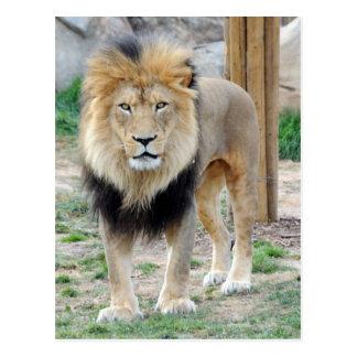 African Lion Postcard
