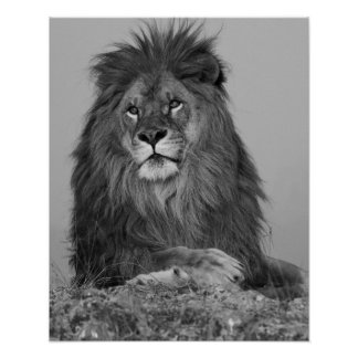 African Lion resting on rock cliff Poster