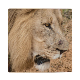 African Lion Wood Coaster