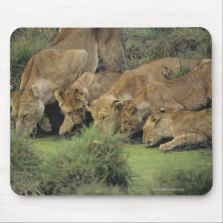 African lions (Panthera leo) smelling grass, Mouse Pad